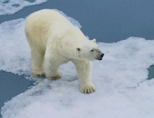 белый_медведь